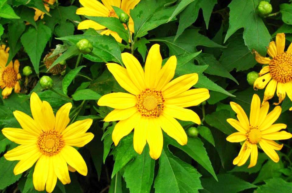 Những cung đường ngắm hoa dã quỳ Đà Lạt